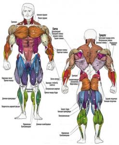 Расположение мышц человека